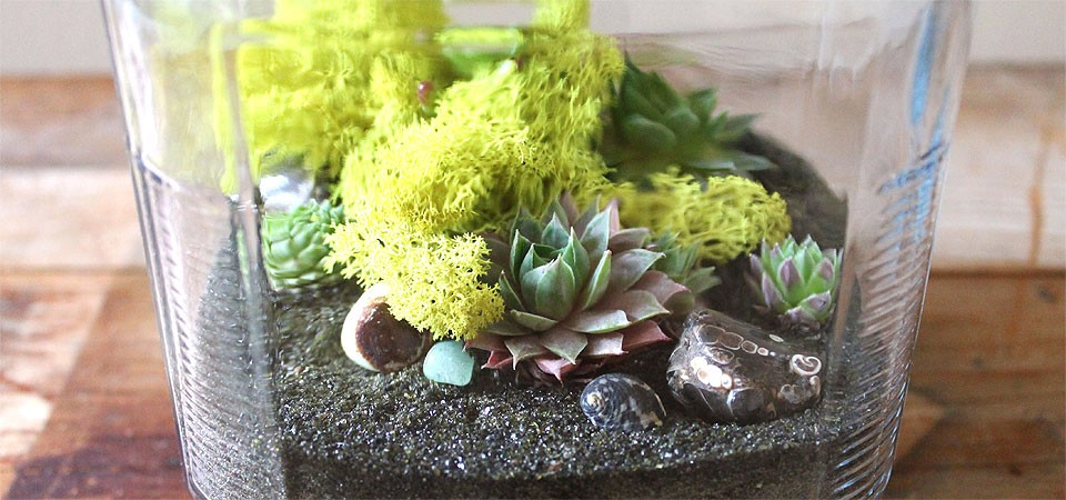Cracker-Jar Grasshopper Terrarium (Medium)