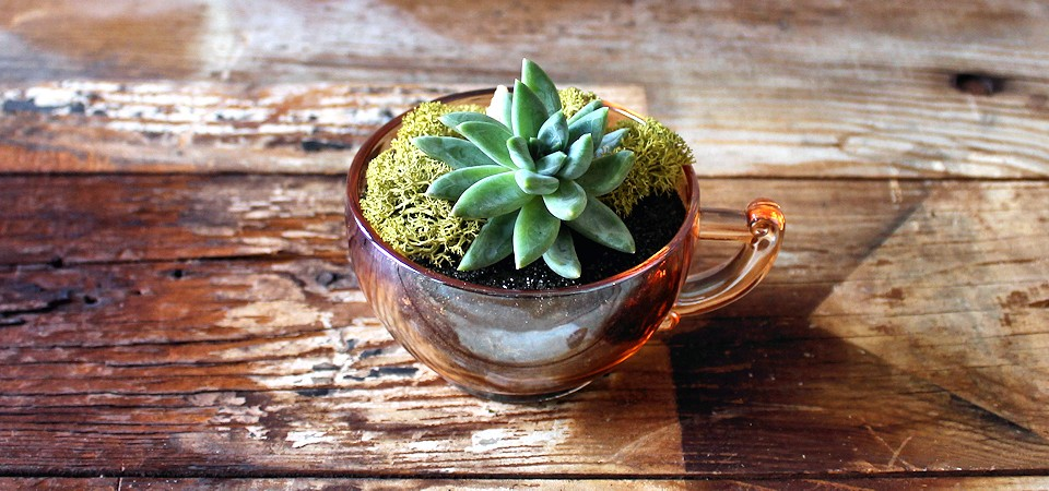 Succulent in Amber-Glass Teacup