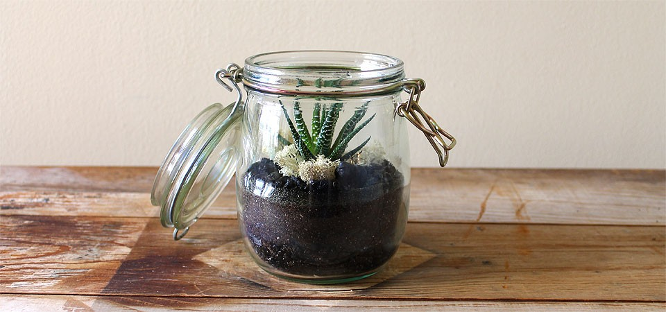 Zebra Plant in Vintage Canning Jar