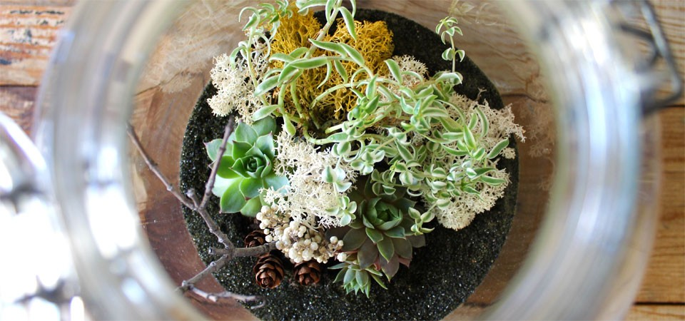 Variegated Sedum in Large Italian Glass Terrarium