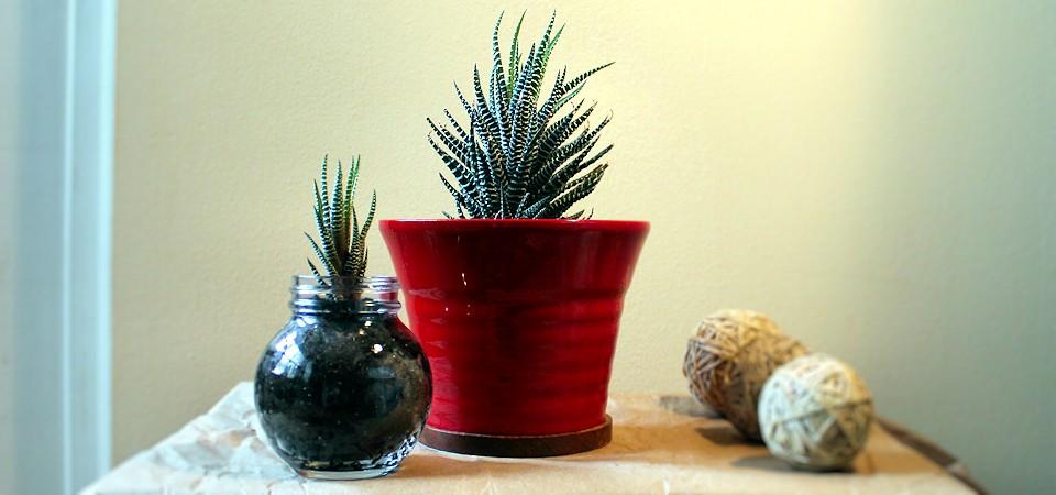 Zebra Plant in Red Pot